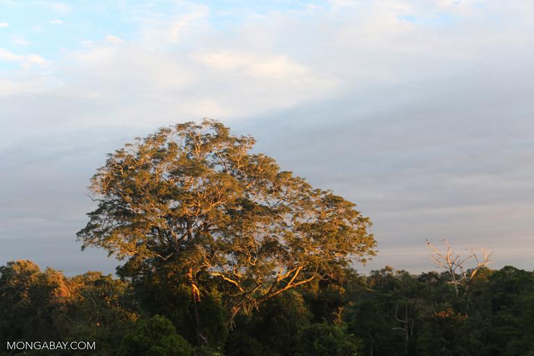 Emergent rainforest tree in Peru