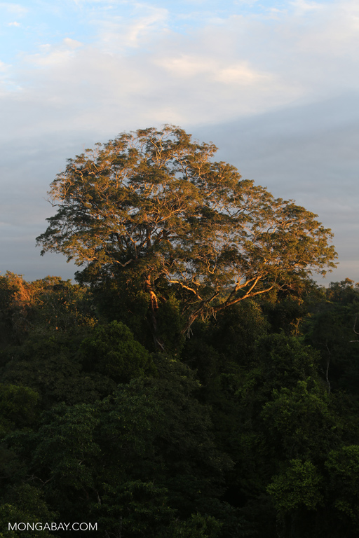 Emergent rainforest tree in Peru