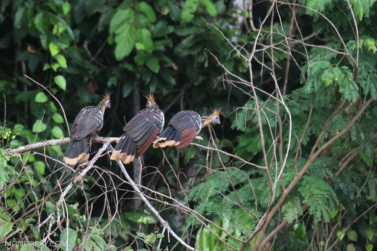 Hoatzins in Peru