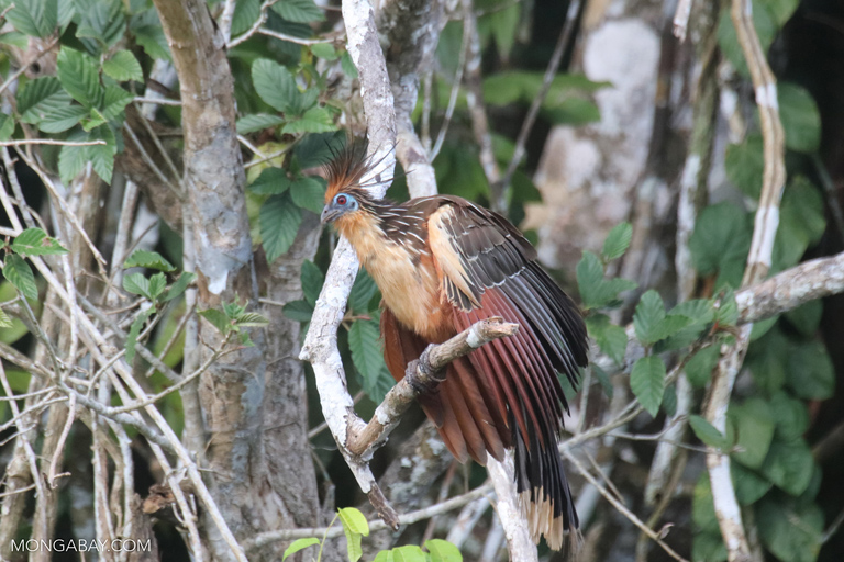 Hoatzin in the Amazon