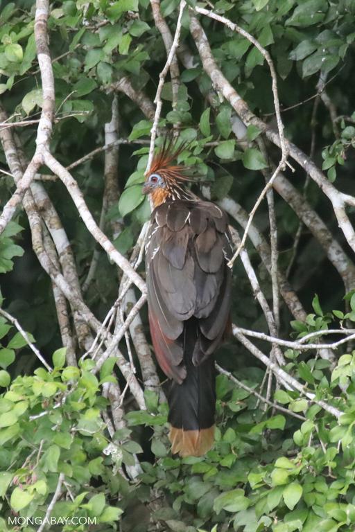 Hoatzin in the Amazon