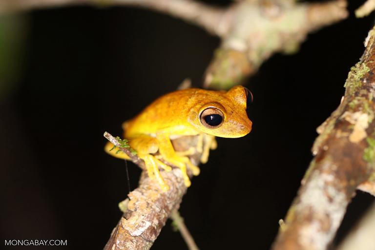 Hyla frog
