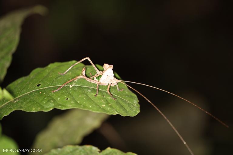 Katydid that looks like a chewed leaf