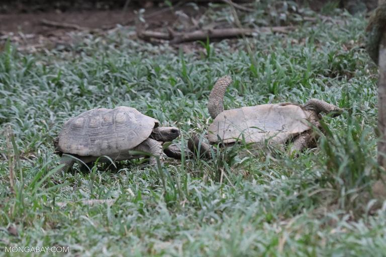 Tortoises fighting in the Amazon