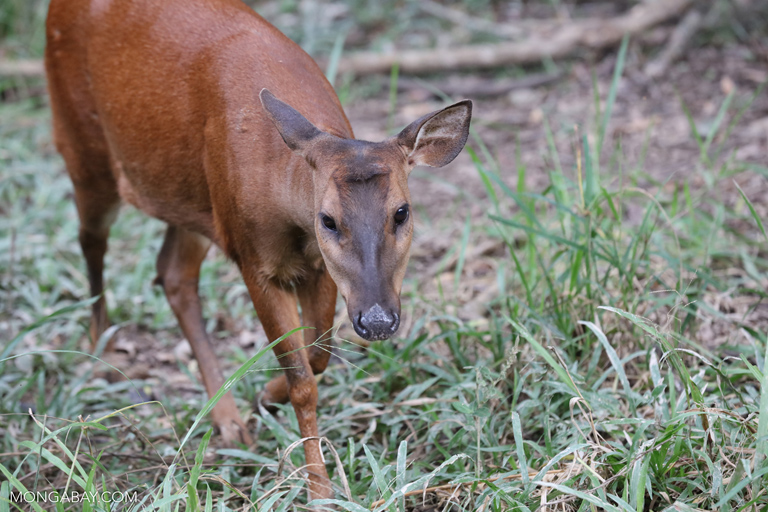 Red brocket (Mazama americana)