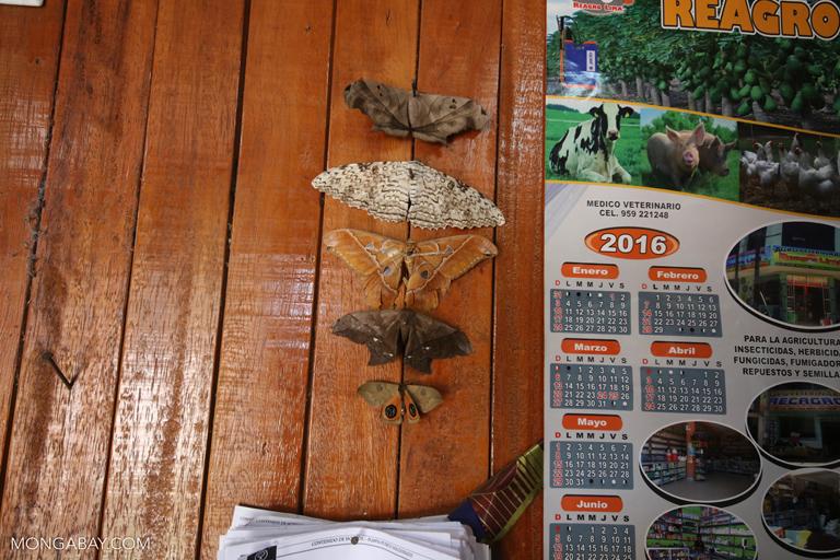 Dead moths
