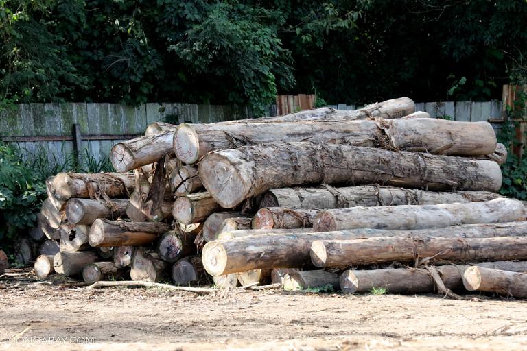 Pile of rainforest logs