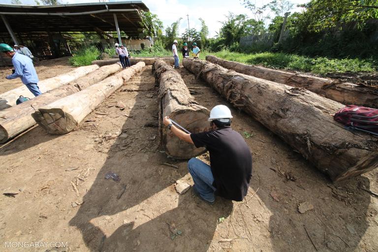 Measuring rainforest logs