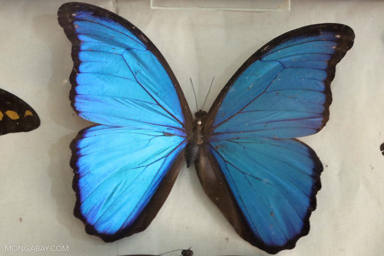 Blue morpho specimen