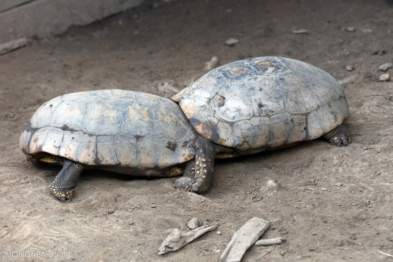 Tortoises fighting