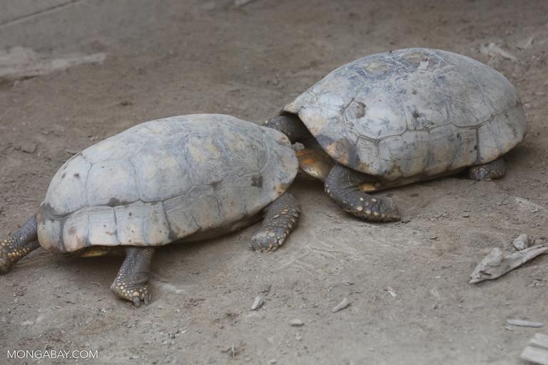 Tortoises fighting