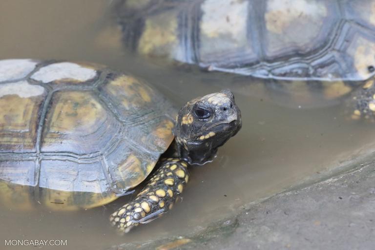 Amazon tortoises