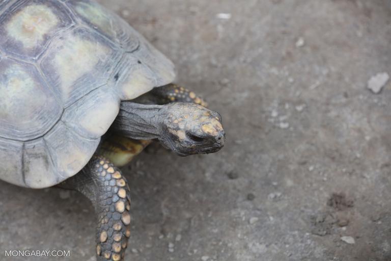 Amazon tortoise