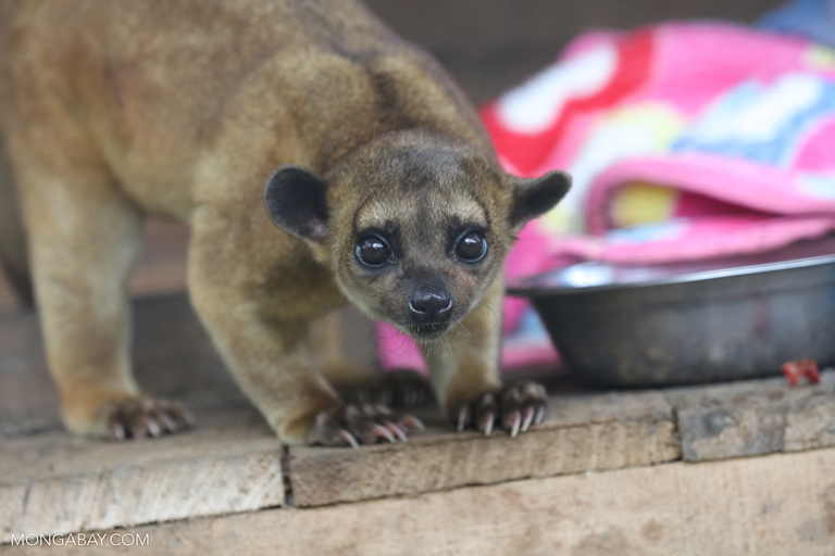 Kinkajou at a rescue center in Peru