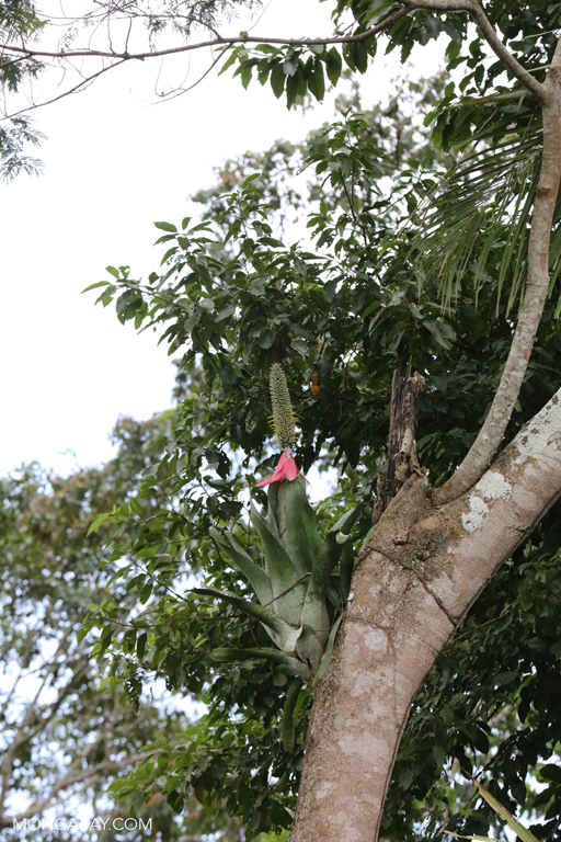 Flowering bromeliad in the Amazon