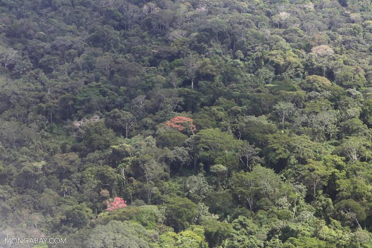 Flowering trees in the Amazon