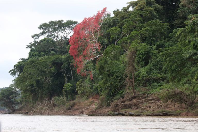 Flowering kapok tree
