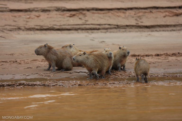 Capybaras on the bank of the Tambopata River