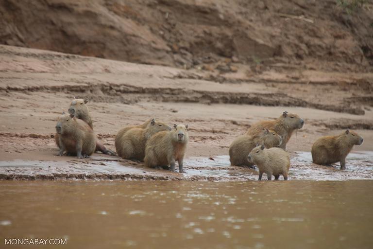 Capybaras on the bank of the Tambopata River