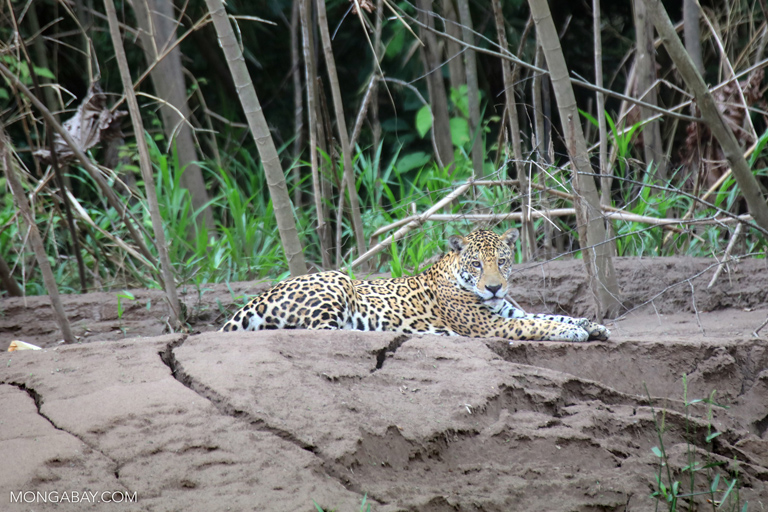 Jaguar in Peru