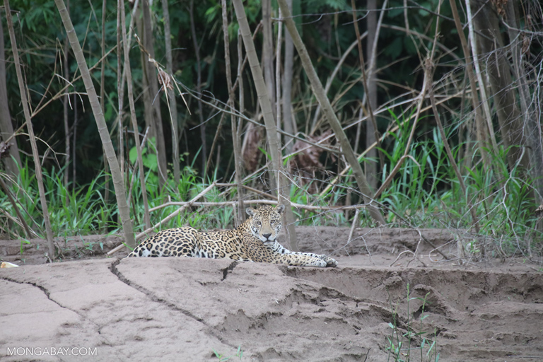 Jaguar on the bank of the Tambopata River