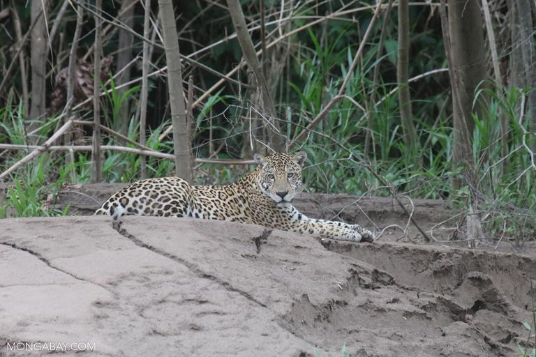 Wild jaguar in Peru