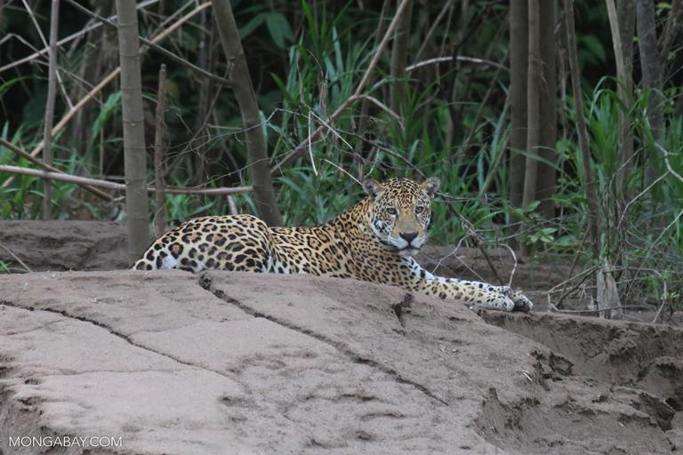 Jaguar in Peru