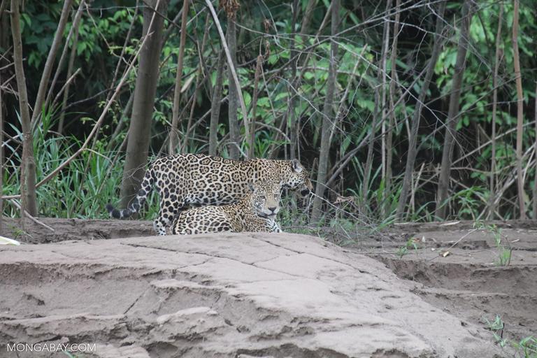 Pair of wild jaguars in Peru