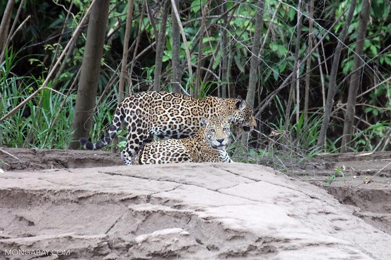 Pair of jaguars in Peru