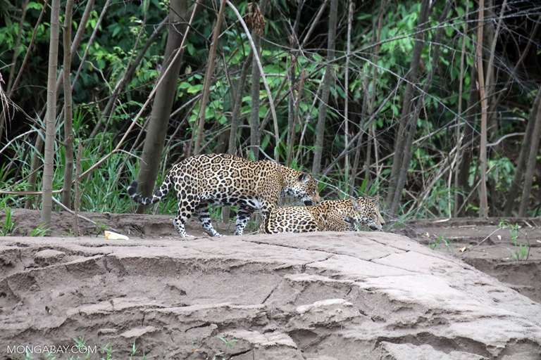 Pair of jaguars on the bank of the Tambopata River