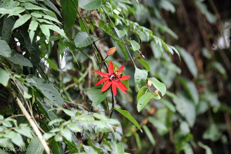 Passion flower in the Amazon