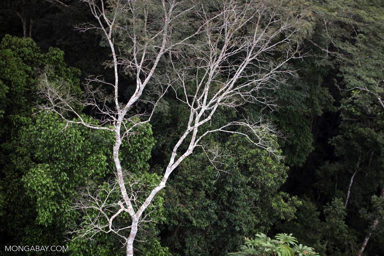 Amazon rainforest canopy tree