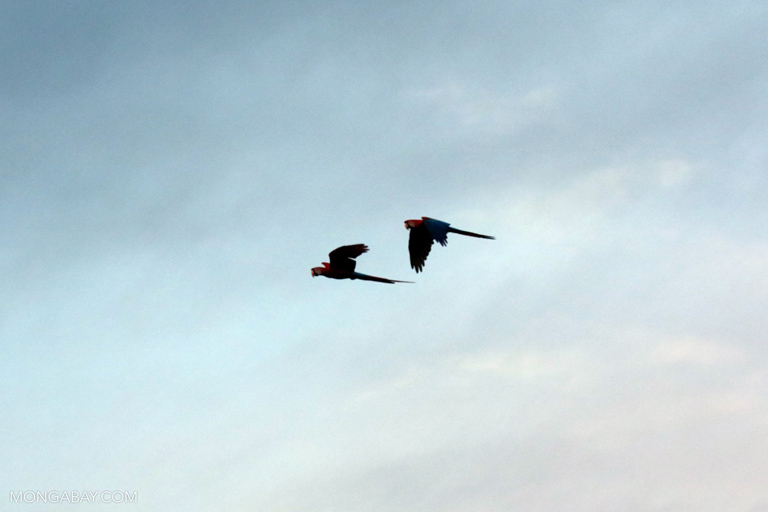 Macaws flying over the Amazon