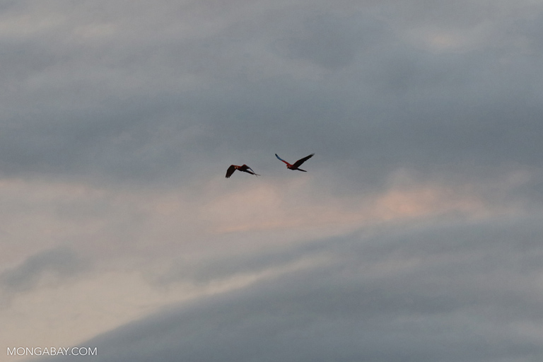 Macaws flying over the Amazon