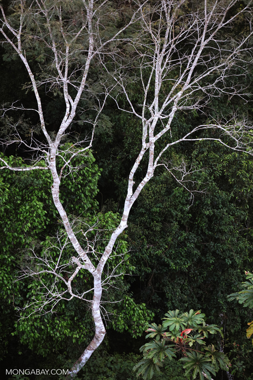 Amazon rainforest canopy tree