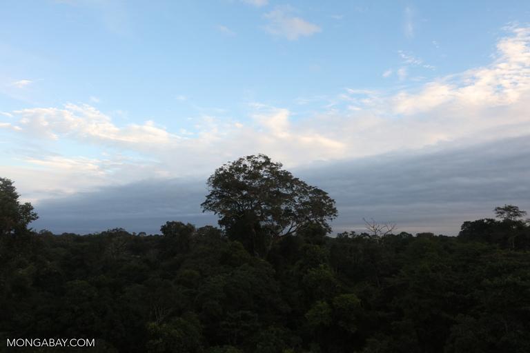 Emergent rainforest tree