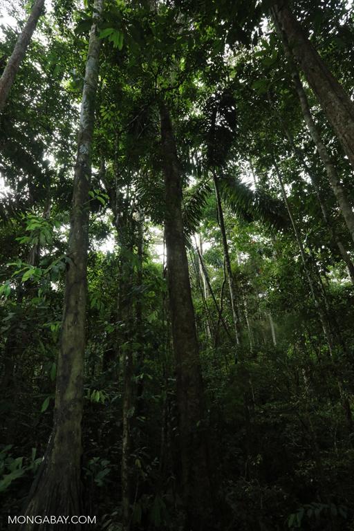 Brazil nut forest