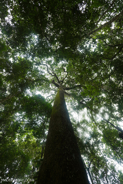 Trunk of a Brazil nut tree
