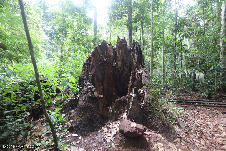 Trunk of a rainforest tree