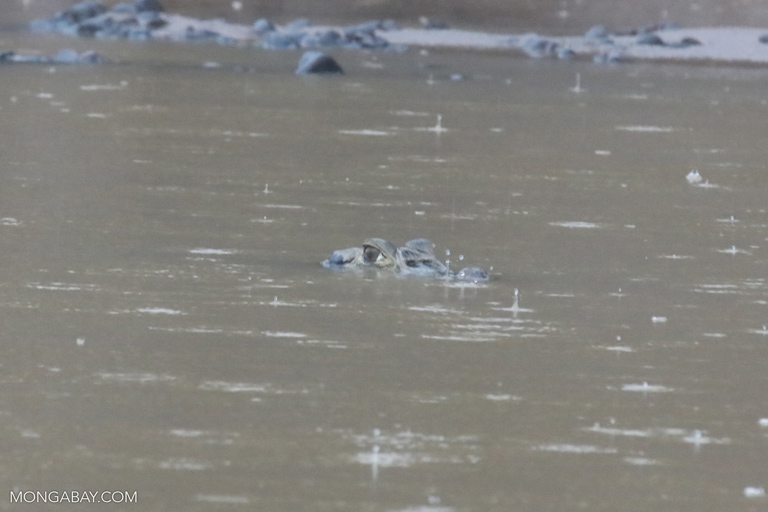 Black caiman submerged in the Tambopata river
