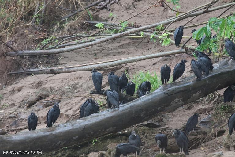 Group of Black Vultures (Coragyps atratus)