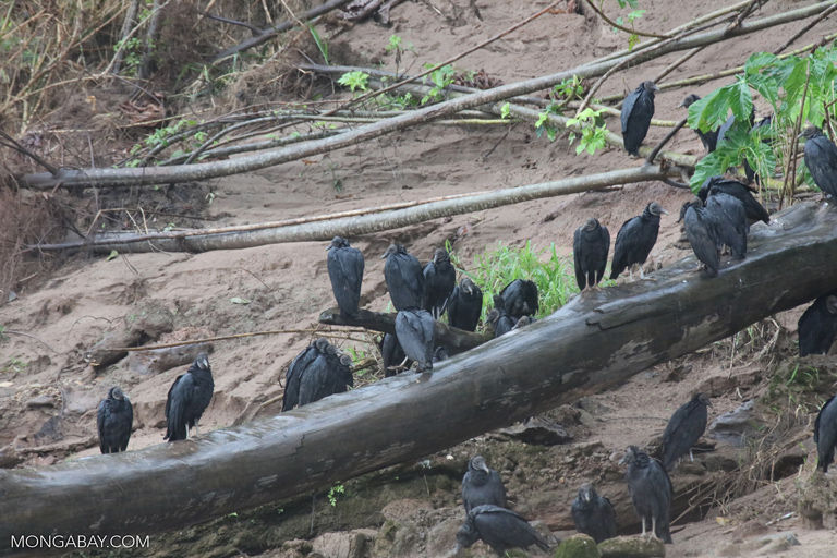 Group of Black Vultures (Coragyps atratus)