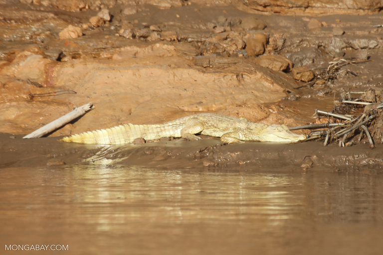 Caiman on a beach along the Tambopata river