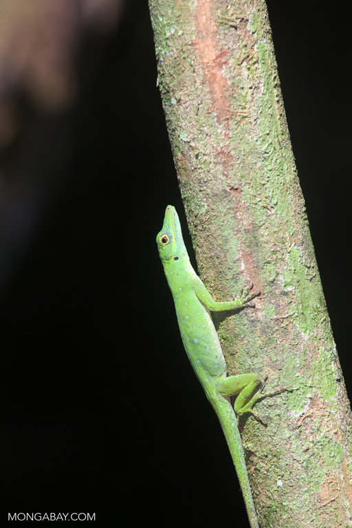 Green forest anole