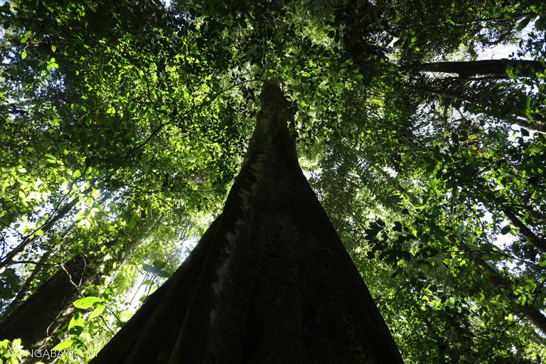 Amazon rainforest tree