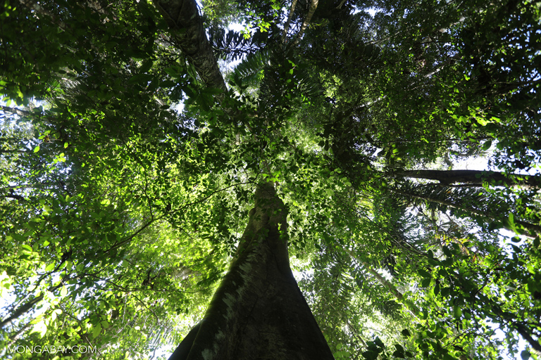 Amazon rainforest tree