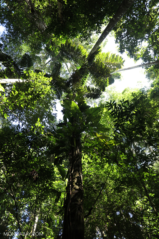 A look up at the rainforest canopy