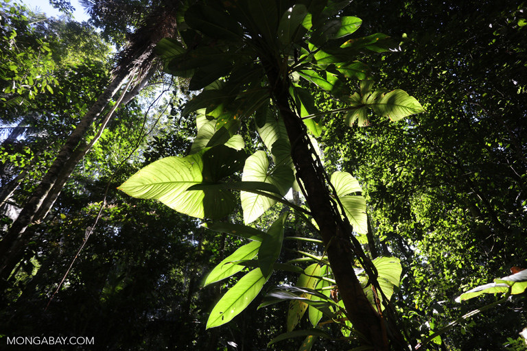 Philodendrons in the Amazon rainforest
