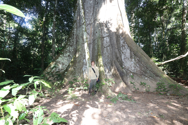 Rainforest guide in Peru standing in front of a giant ceiba tree