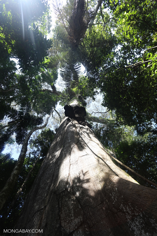 A look up the trunk of a giant kapok